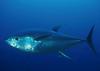 Красный тунец: новые ограничения на ловлю в Италии