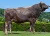 Самый плодовитый бык в мире живет в Италии