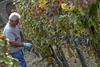 Урожай винограда в Италии в этом году будет выше, чем в прошлом