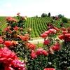 Если на винограднике играет Моцарт, виноград вызревает лучше