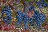 В Италии начинается сбор винограда