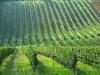 На выставке Vinitaly научат правильно обрезать виноград