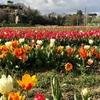 В Риме вновь открывается сад тюльпанов: на этот раз, он расположился в Казилино