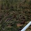 Сосны, сломавшиеся под шквалом непогоды в лесах Северной Италии, станут рождеств