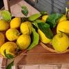 """Лимоны Сорренто: """"золото"""" побережья Амальфи"""
