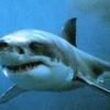 Между Римини и Марке замечена семиметровая акула