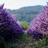 Лавандовый парк в Калабрии: уголок Прованса в Национальном парке Поллино