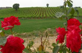 Почему среди виноградных лоз благоухают прекрасные розы?