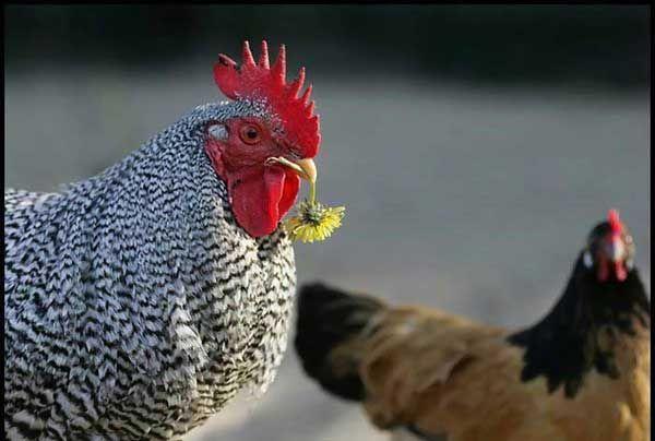 Нарву цветов и подарю букет - той курице,которую люблю!