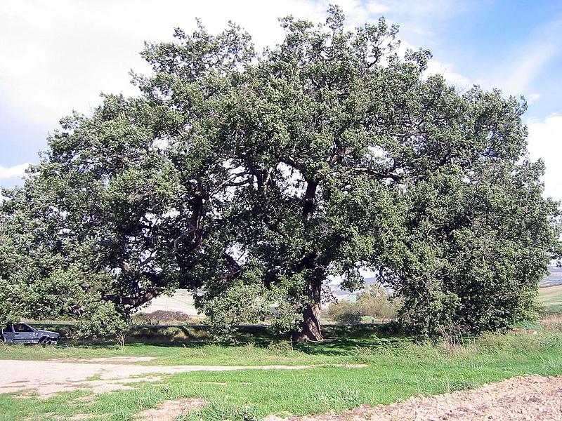 Мега дуб (Фото шестилетней давности)
