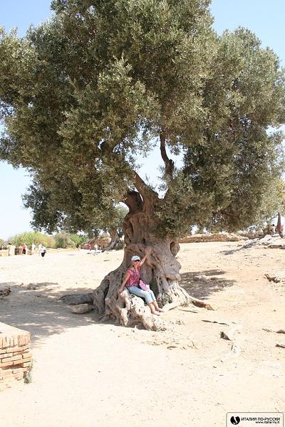 Сицилия.Олива-мое дерево!