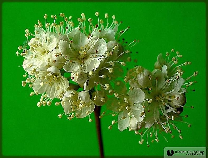 Цветок рябины