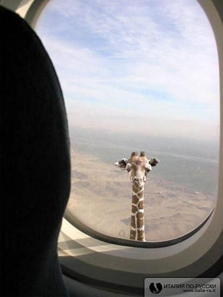 Очень длинношеее животное