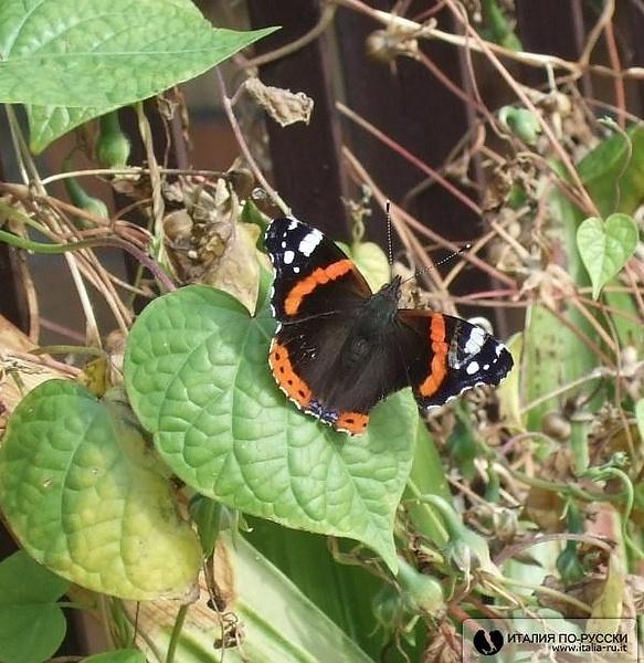 Бабочка....