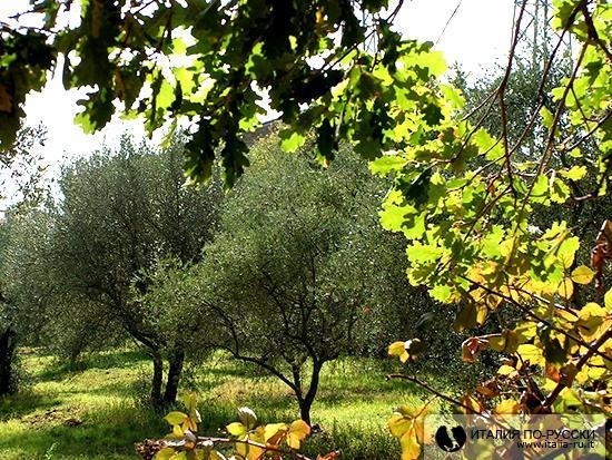 осень в оливковой роще