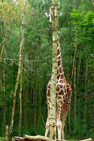 Найдите на картинке жирафа