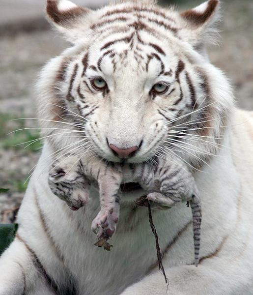 Мамина любовь белой тигрицы.