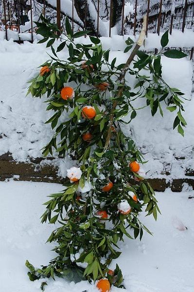 Яблоки...нет не яблоки. Цитрусы на снегу
