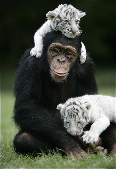Няня для белых тигрят.