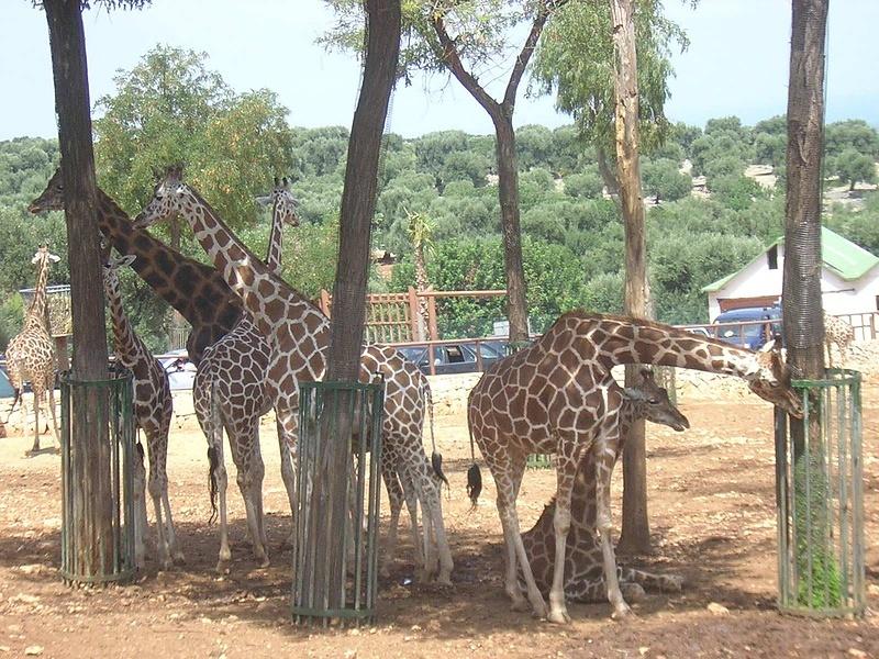 Жирафи для Зеници, только они находятся в Пулье, Зоосафари.