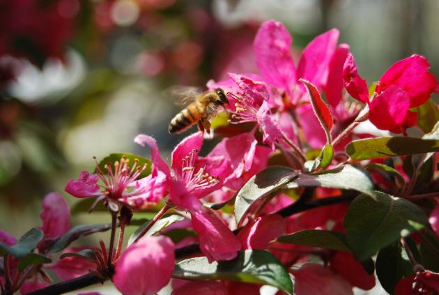 Пчела-труженица