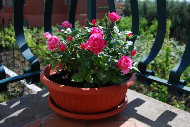 Выращивание розы на балконе 41