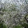 Белопенное цветение вишни