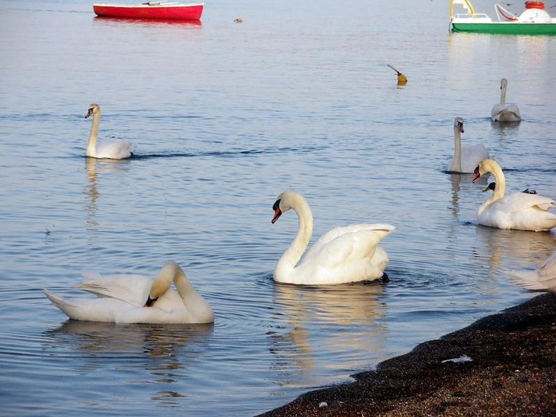 Лебеди озера Браччано