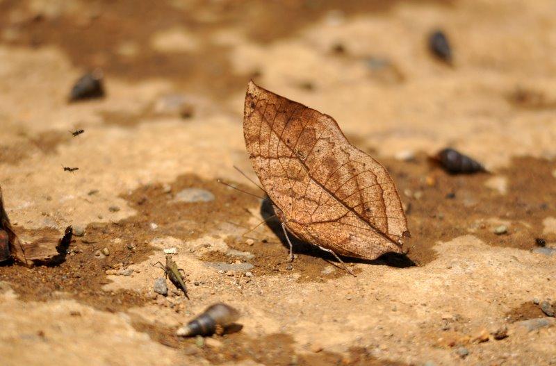 Калима - сухой лист