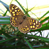 Бабочка залетная