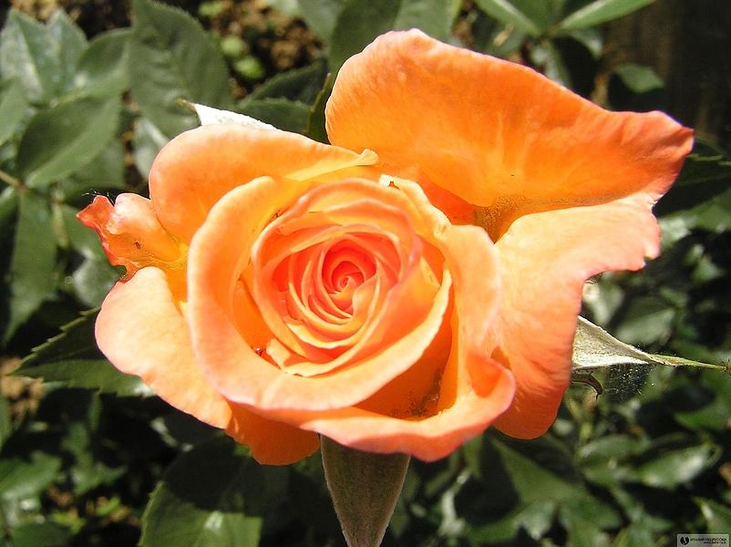 Пекрасные розы