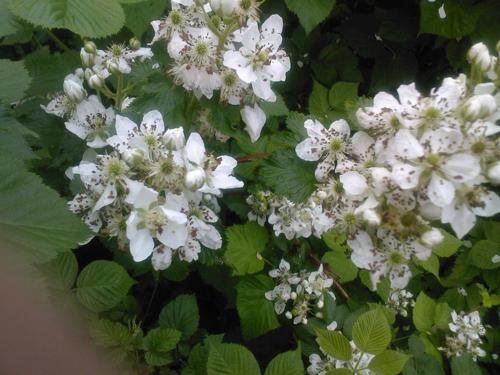 ежевика в цвету