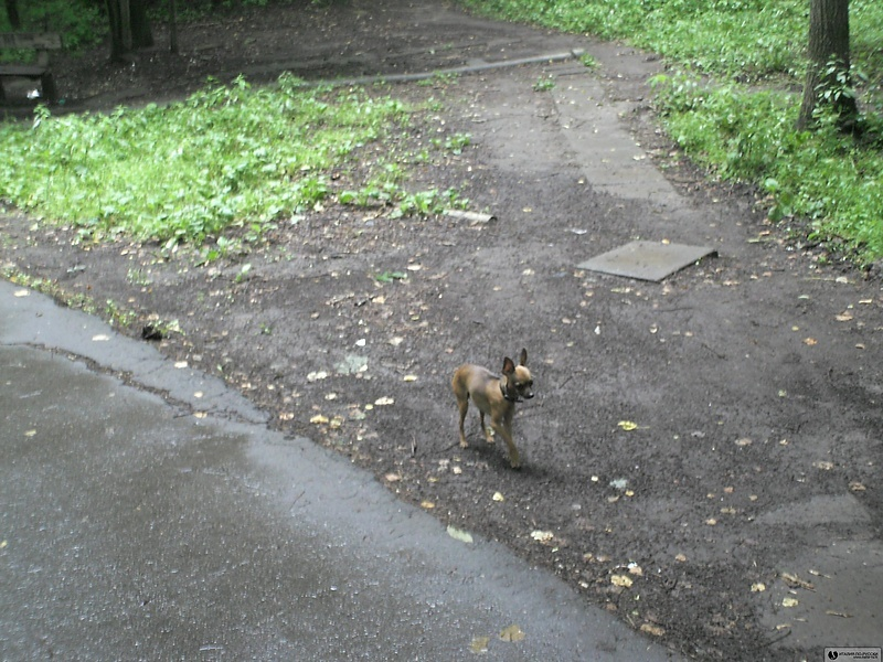 Измайловский парк, лесная газель-собачка