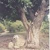 """дерево из """"Кавказской пленницы"""""""