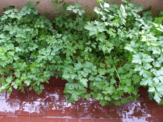 Прецемоло со своего балконного огорода :)