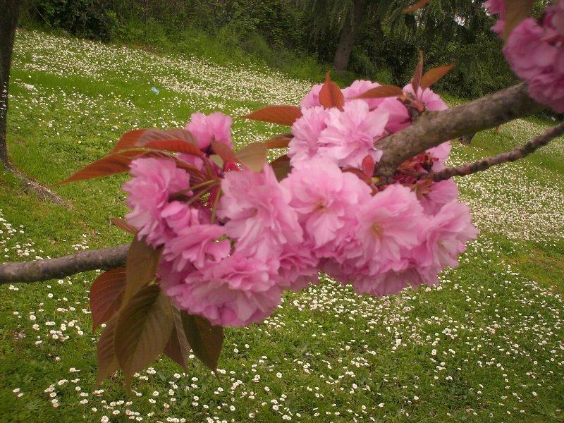 Розовые цветы на дереве