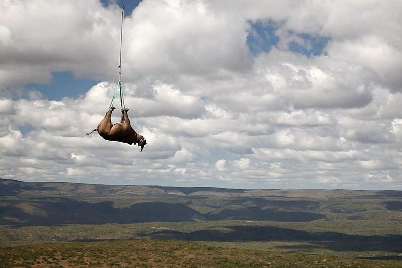 Транспортировка черного носорога, провинция Лимпопо, Южная Африка.