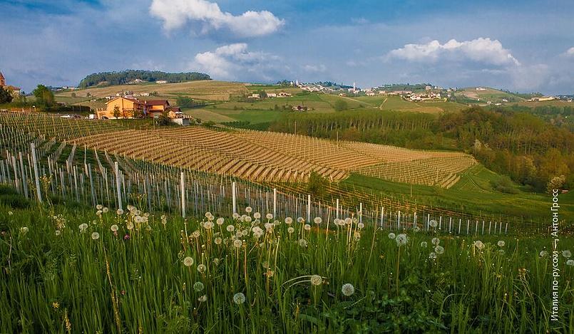 Одуванчики и виноградники