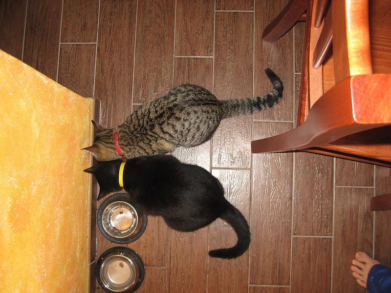 коты обeдают