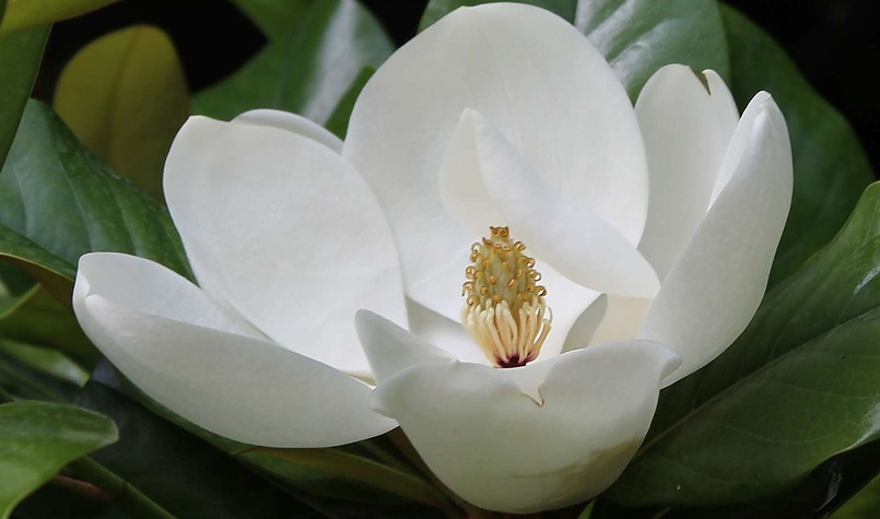 Белый цветок магнолии