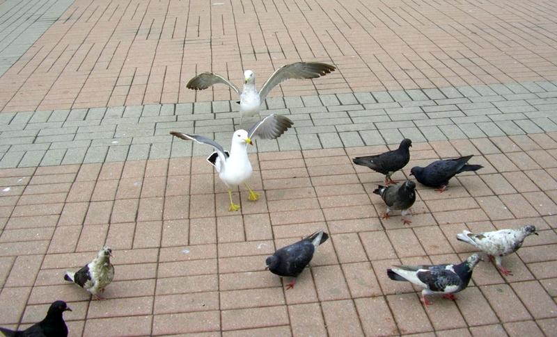 Летите голуби, летите!