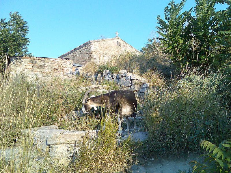 Современная коза на фоне древней Феодосии