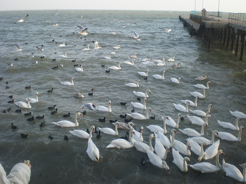 Гуси-лебеди летят!