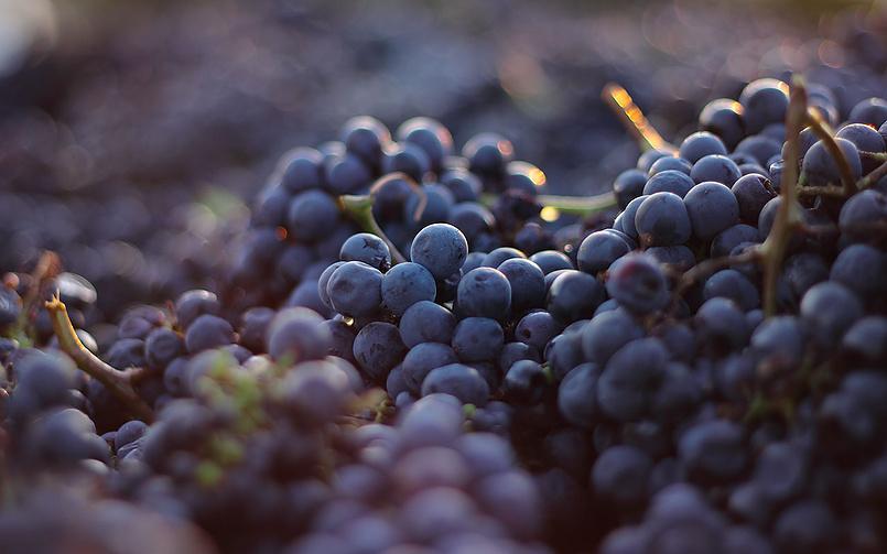 Неббиоло — виноград, из которого делают Barolo и Barbaresco
