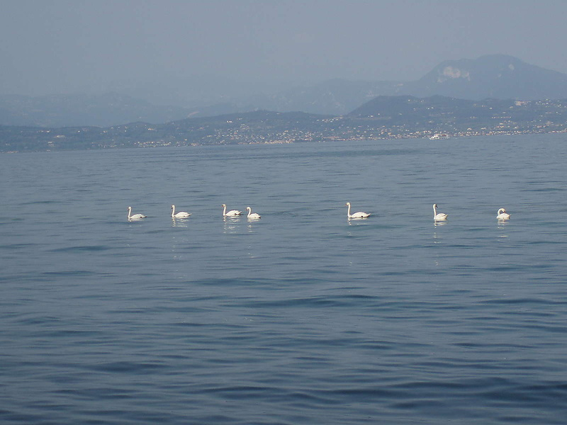 Лебеди на Гарде