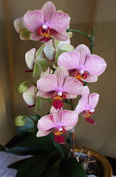 Орхидея опять...