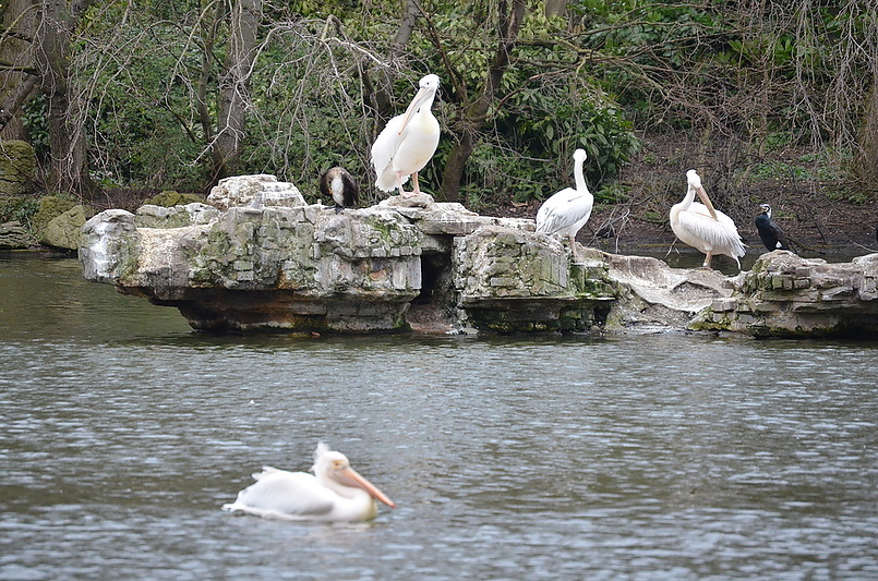 Королевские пеликаны королевы.