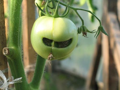 крутой пере... то есть помидор