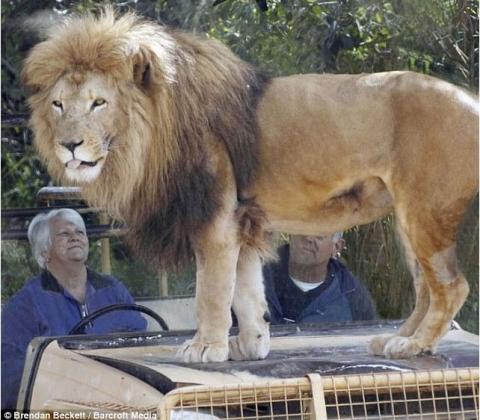 Ручной лев