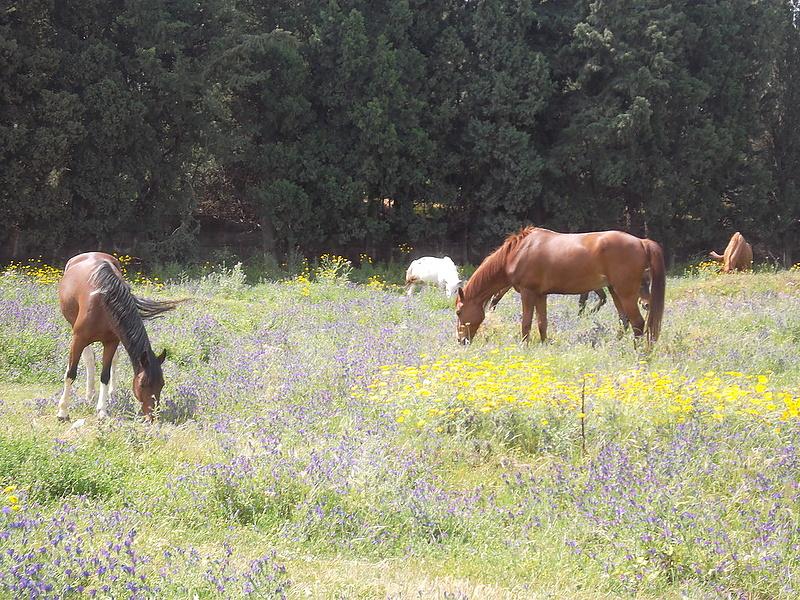 А кони в Италии,как наши,русские.
